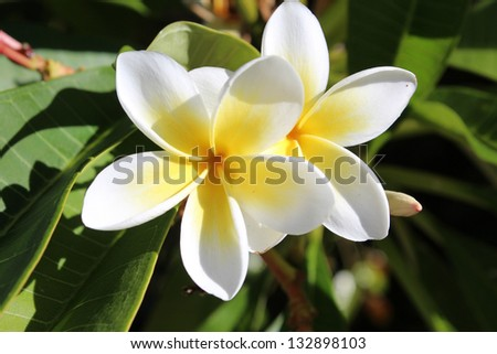 Beautiful fragrant flowers of exotic  frangipanni plumeria plumeria species  contrasted against the large green glossy leaves  add color to the landscape.
