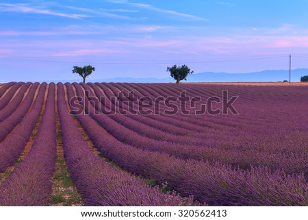 Beautiful fragrant lavender fields of Provence, France