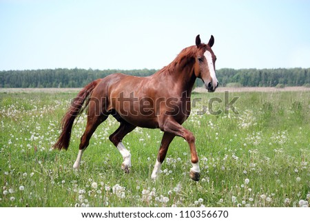 Beautiful free chestnut horse trotting at the field with flowers - stock photo