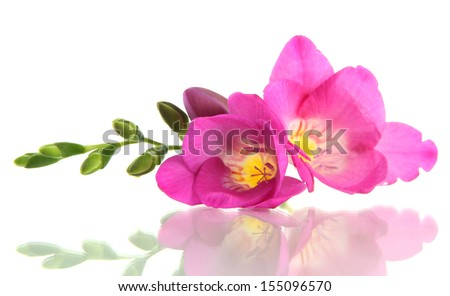 Beautiful freesia flower, isolated on white