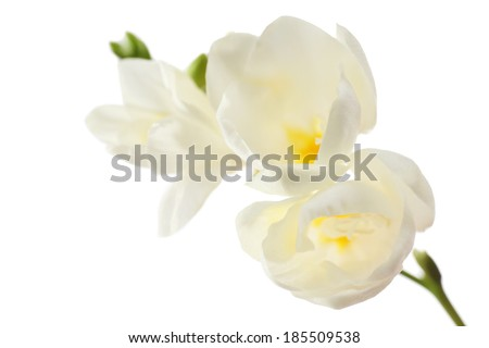 Beautiful freesia flowers, isolated on white