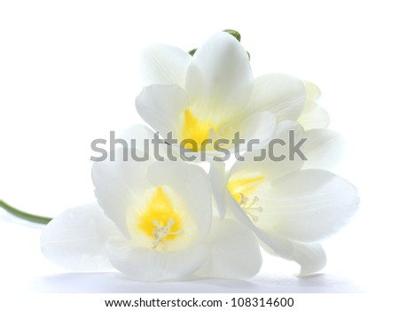 Beautiful freesia isolated on white - stock photo
