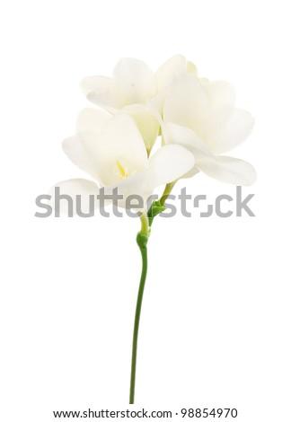 Beautiful freesia isolated on white - stock photo