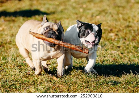 Beautiful French Bulldog Puppy Dog Pup Puppy Whelp Outdoor In Spring - stock photo