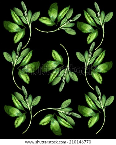 beautiful fresh basil and sage herbs on black background