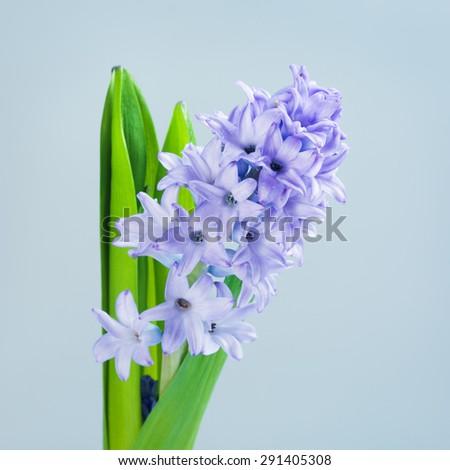 beautiful fresh blue hyacinth on blue background - stock photo
