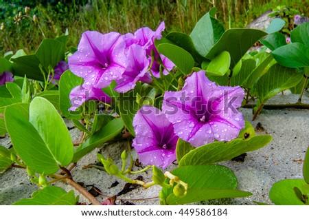 Beautiful & fresh purple wild flowers in sand on tropical beach at Labuan island. - stock photo
