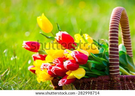 beautiful fresh spring flowers red yellow tulips in basket nature green background March 8 card festive celebration accessory - stock photo