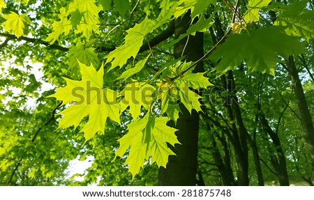 Beautiful fresh spring leaves of maple tree  - stock photo