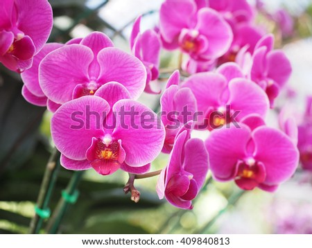 beautiful fresh vanda orchid flowers on the decoration garden