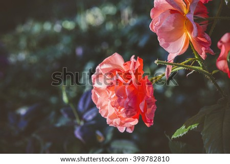 Beautiful fresh wild rose flowers blooming in spring or summer with soft wavy light pink petals - stock photo