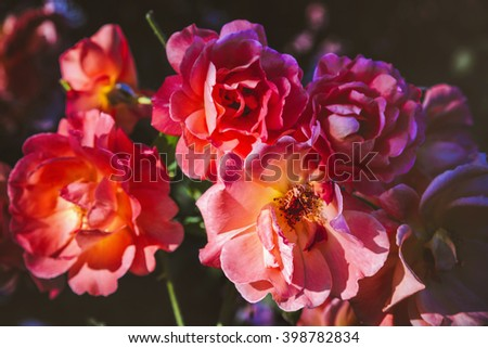 Beautiful fresh wild rose flowers blooming in spring or summer with soft wavy light pink petals/Wild pink rose flowers in garden - stock photo