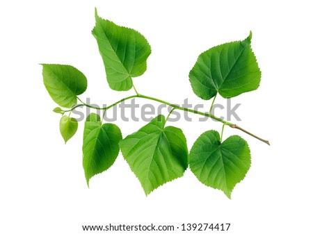 Beautiful freshness twig with green leaves on white background. Isolated with clipping path