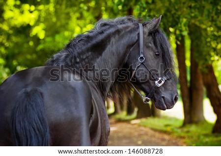 Beautiful Friesian horse portrait - stock photo