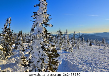 Beautiful frosty and sunny winter morning in the mountains. On the slope with snow covered fir trees and  traces alpine skiing going down a snowmobile - stock photo