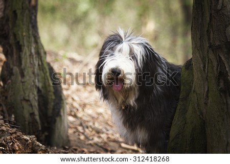 beautiful fun Bearded Collie dog Old English Sheepdog puppy in forest - stock photo