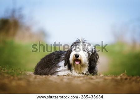beautiful fun Bearded Collie dog Old English Sheepdog puppy relax - stock photo