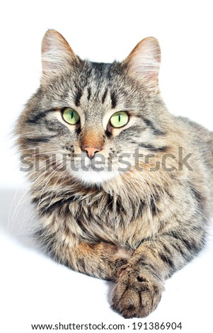 Beautiful furry adult cat on white background - stock photo