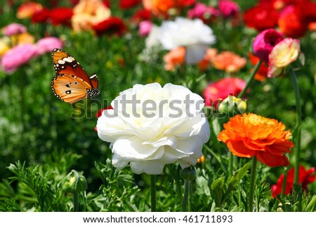 Beautiful garden flowers and butterfly summertime composition. ( Buttercups and Danaus chrysippus (Plain tiger or African monarch). Selective focus