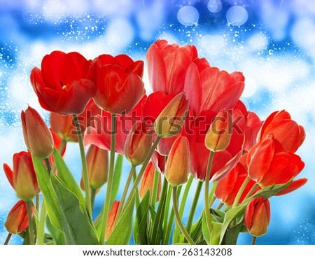 Beautiful garden fresh red tulips on abstract blue background - stock photo