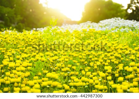 Beautiful garden of yellow and white flowers with sunlight , Japan. Wallpaper . - stock photo