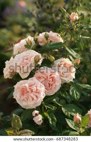 beautiful garden rose in the garden