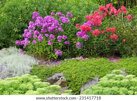 Beautiful garden with blooming red and purple phlox. - stock photo