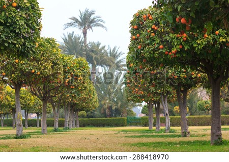 Beautiful garden with orange trees near Koutoubia Mosque in Marrakech, Morocco - stock photo