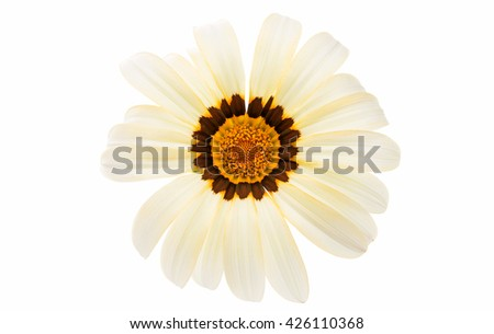 beautiful gazania isolated on white background