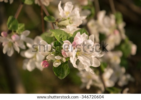 Beautiful gentle aromatic light flowers with yellow stamen, small buds and leaves on young twig lighted by bright springtime sunshine. View close-up with space for text on dark backdrop of green grass - stock photo