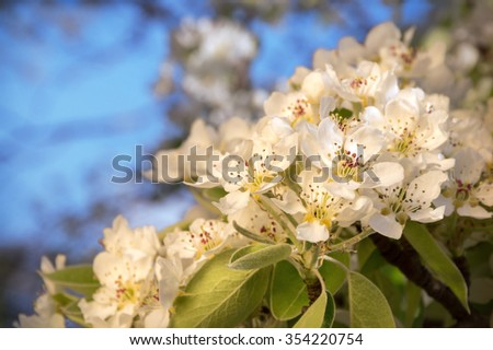 Beautiful gentle aromatic light flowers with yellow stamen, small buds and leaves on young twig lighted by bright springtime evening sun. View close-up with space for text on backdrop of blue sky - stock photo