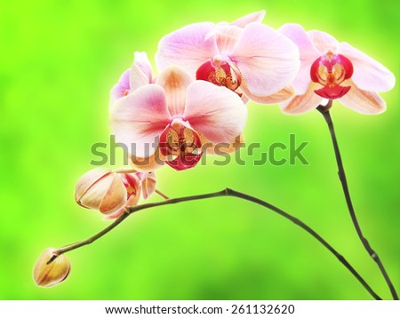 Beautiful gentle branch of pink romantic orchid flowers isolated on green background - stock photo