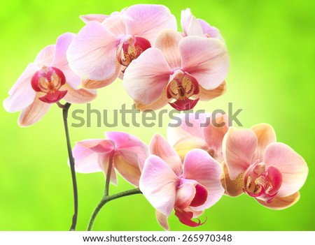 Beautiful gentle branch of rose romantic orchid flowers on green background - stock photo