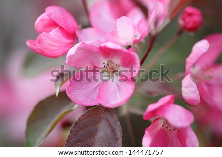 Beautiful gentle lovely pink fragrant spring flowers of a tree of a paradise apple