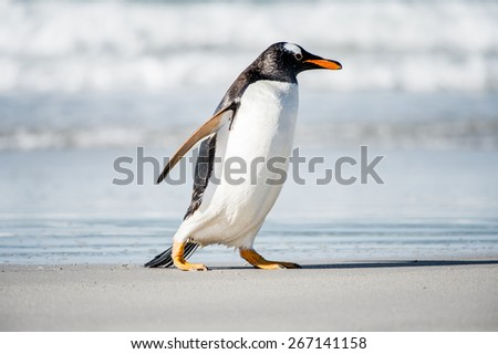 Beautiful gentoo penguin portrait, Falkland Island
