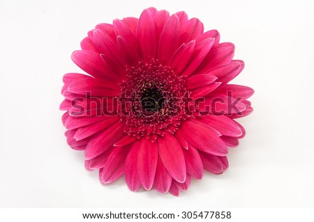 Beautiful gerber flower on the white background.