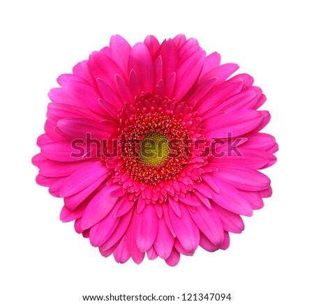 beautiful gerbera - stock photo