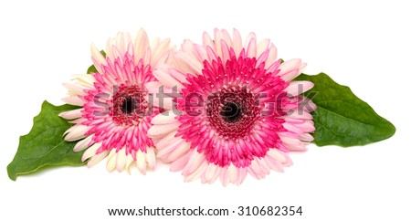 beautiful Gerbera Daisy isolated on white background - stock photo