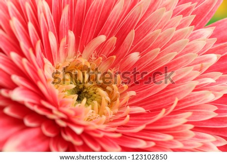 beautiful gerbera flower, close up - stock photo