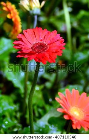 Beautiful gerbera flower in garden .flower wedding decoration, beautiful gerbera flower blooming background.selective focus. - stock photo