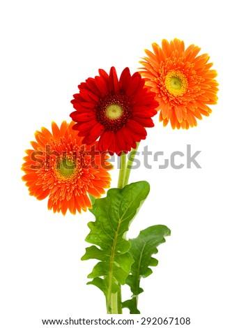 beautiful gerbera flower isolated on white background - stock photo