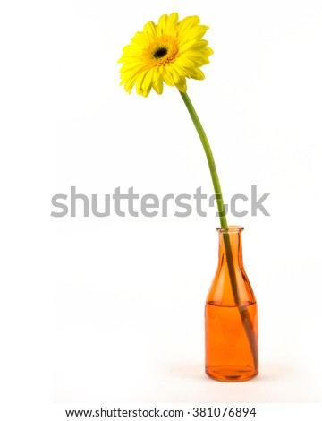 Beautiful gerbera in vase isolated on white / Beautiful daisy gerbera flower isolated on white background / yellow gerbera flower isolated on white with clipping path - stock photo