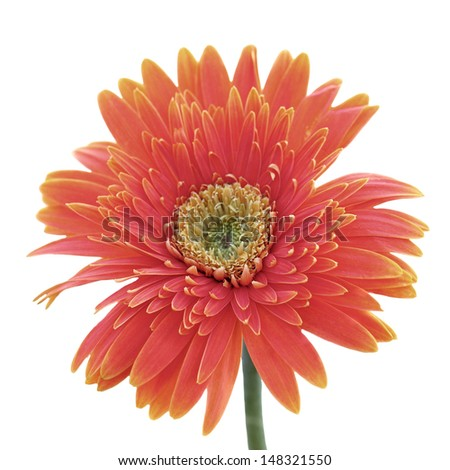 Beautiful gerbera isolated on white background - stock photo