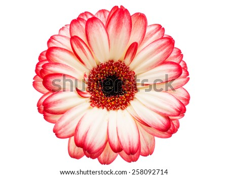 beautiful gerbera on a white background - stock photo