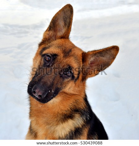 Beautiful German shepherd closeup on a walk in the snow. Winter, sunny day. Fluffy dog, brown and black color.