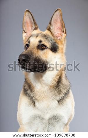 Beautiful german shepherd dog isolated on grey background. Studio shot. Grey and brown colored. - stock photo