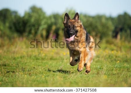 beautiful german shepherd dog running on a field - stock photo