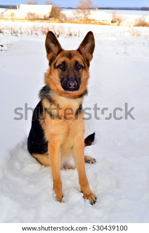 Beautiful German Shepherd in full growth on a walk in the snow. Winter, sunny day. Fluffy dog, brown and black color.