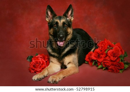 beautiful German Shepherd with red roses for valentines day - stock photo