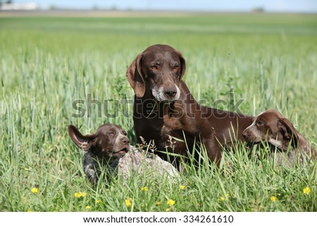 Beautiful German Shorthaired Pointer with puppies in nature - stock photo